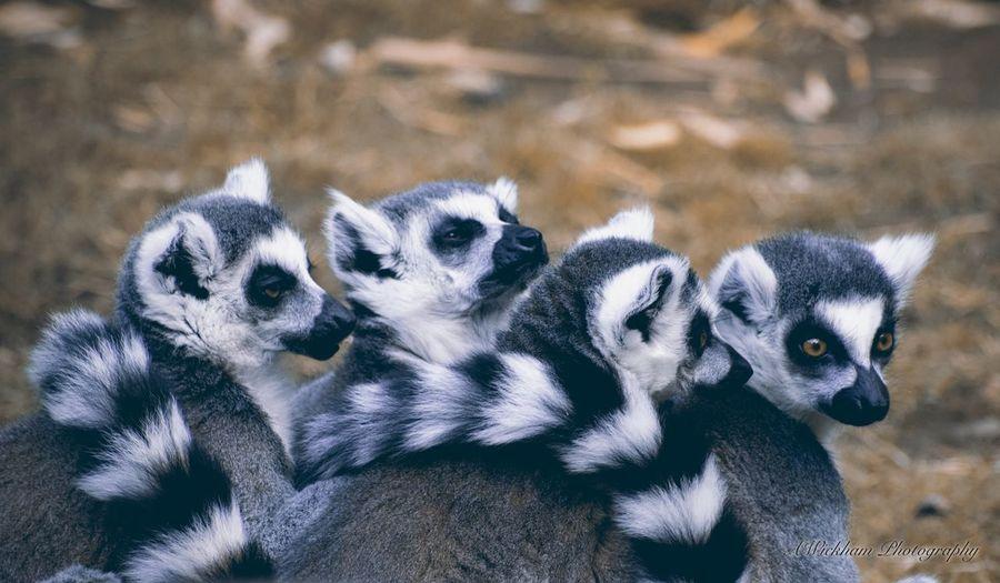 Close-up of lemurs on field