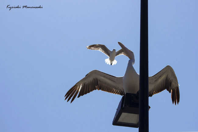 Animal Body Part Animal Themes Animal Wildlife Animal Wing Animals In The Wild Bird Clear Sky Day Flying Low Angle View No People Outdoors Pelican Sky Spread Wings