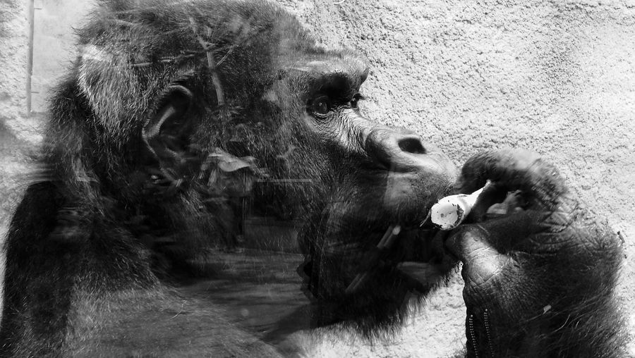 Gorilla by wall reflecting on glass window at zoo