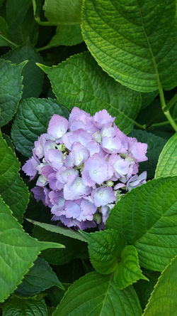 Ortensia Flower Leaf Freshness Fragility Purple Close-up Growth Petal Beauty In Nature Selective Focus Springtime Hydrangea In Bloom Plant Nature Bunch Of Flowers Blossom Vibrant Color Flower Head Green Color