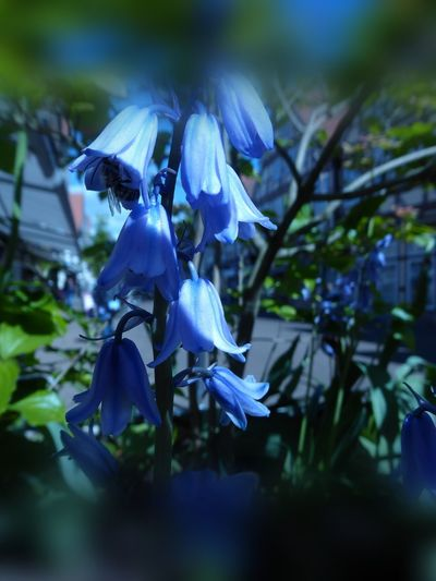 simple Beauty 💙 Beliebte Fotos Blue Flowers Glockenblume Hasenglöckchen (Hyacinthoides) For My Friends 😍😘🎁 Nature Is My Sanctuary 🌳💚 Surrounded By Nature Bokehlicious Bokeh Photography Eye4photography  Exceptional Photographs Bokehframe Flower Flower Head Blue Close-up Plant