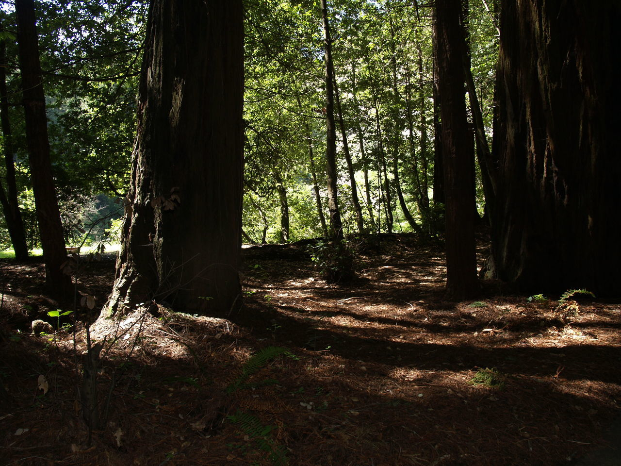 forest, tree, nature, tree trunk, tranquility, woodland, tranquil scene, day, no people, growth, outdoors, beauty in nature