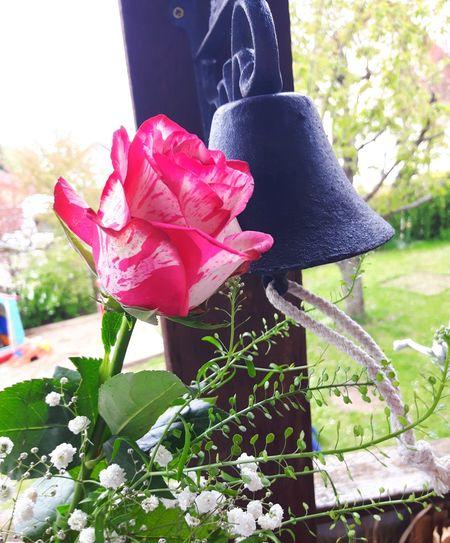 Rose Flower Day Plant Protective Glove Pink Color Nature Germany🇩🇪 Bayern Germany Plant Beliebte Fotos EyeEm Best Shots Eyem Collection Nature_perfection Flower Photography Eym Em Best Edits Blumenfotografie Blumenstrauß Blumenpracht🌺🍃 Eyem Best Shots - Flowers Flower Head Flower_Collection Multi Colored Rose🌹 Rose - Flower Roses🌹