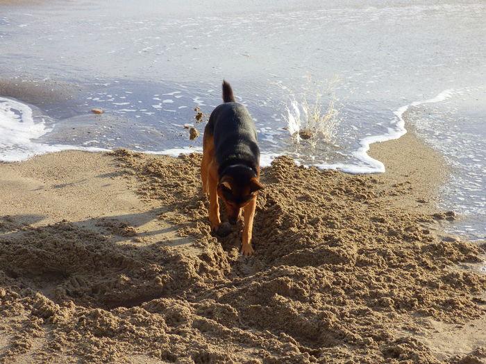 German Shepherd Digging In Sand On Sea Shore