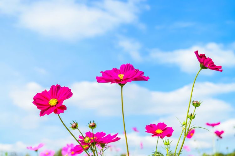 Cosmos Flowers against blue sky Flowering Plant Flower Freshness Fragility Plant Beauty In Nature Petal Vulnerability  Pink Color Flower Head Inflorescence Growth Close-up Sky Nature No People Cloud - Sky Focus On Foreground Day Plant Stem Outdoors Sepal