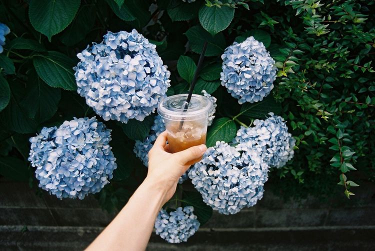 Cropped hand holding iced coffee against hydrangea flower