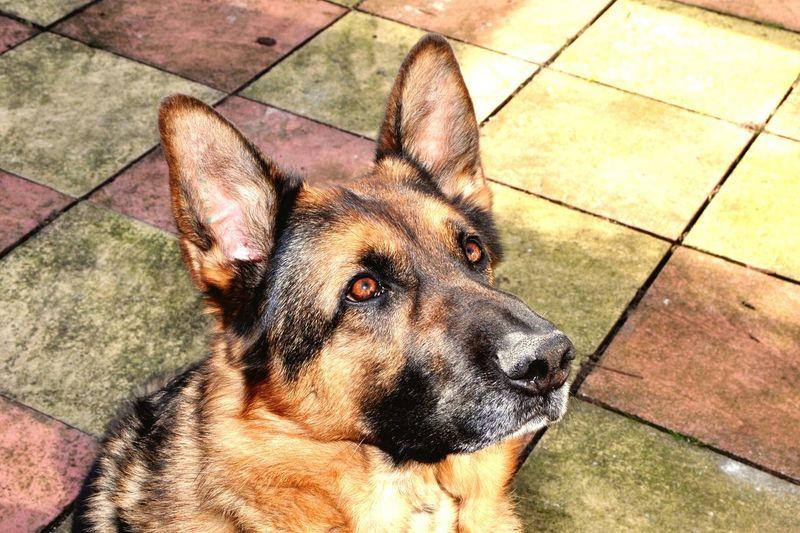 German Shepherd looking alert German Shepherd Alert Dog i Intelligent Dogs