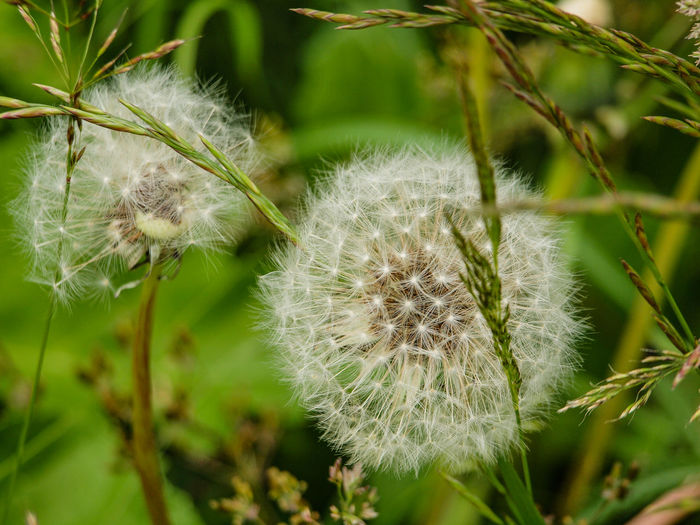 Plant Growth Close-up Fragility Vulnerability  Flower Beauty In Nature Freshness Flowering Plant Focus On Foreground Nature No People Dandelion Day White Color Inflorescence Tranquility Outdoors Softness Flower Head Dandelion Seed