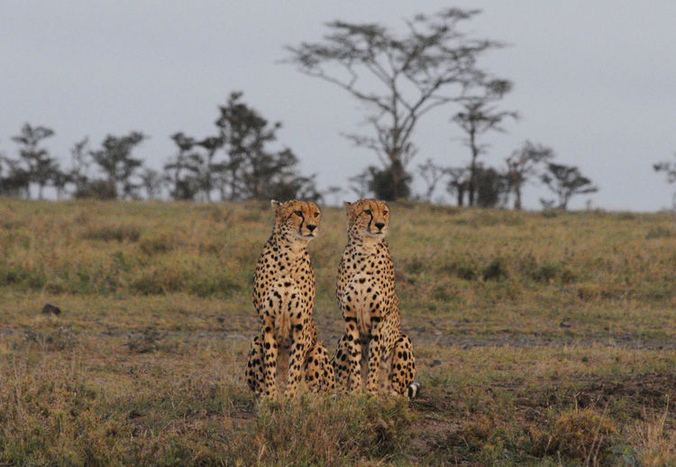 Cheetahs by a tree in a field