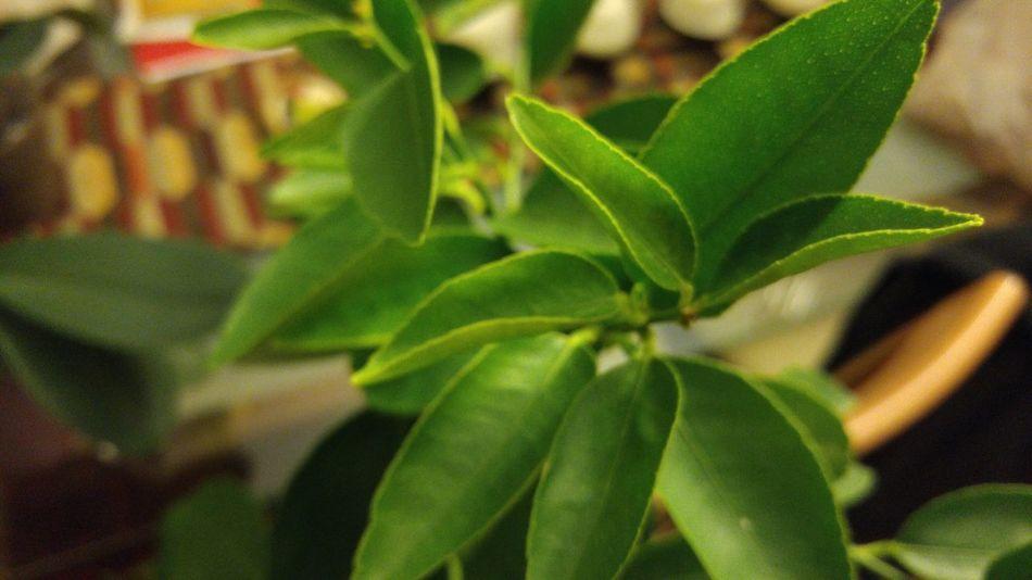 Greenplants Lime Tree Green Leaf Leafs