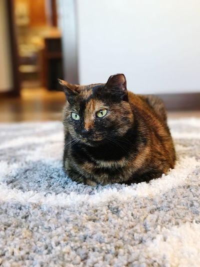 Pets Cat Home