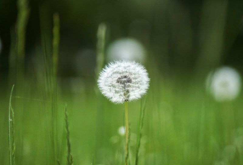 Dandelion Plant Beauty In Nature Flower Dandelion Flowering Plant Fragility Vulnerability  Close-up Growth Focus On Foreground No People White Color Freshness Nature Day Green Color Inflorescence Outdoors Plant Stem Land