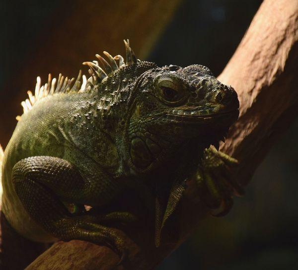 iguane Iguana Reptile Animal Scale Lizard Close-up