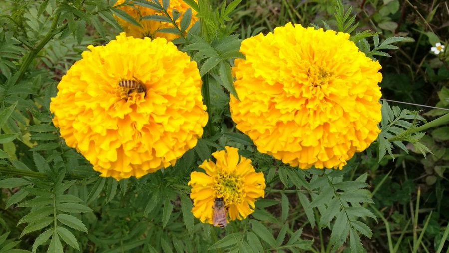 Yellow Freshness Nature Plant Blooming Bees At Work Enga PNG