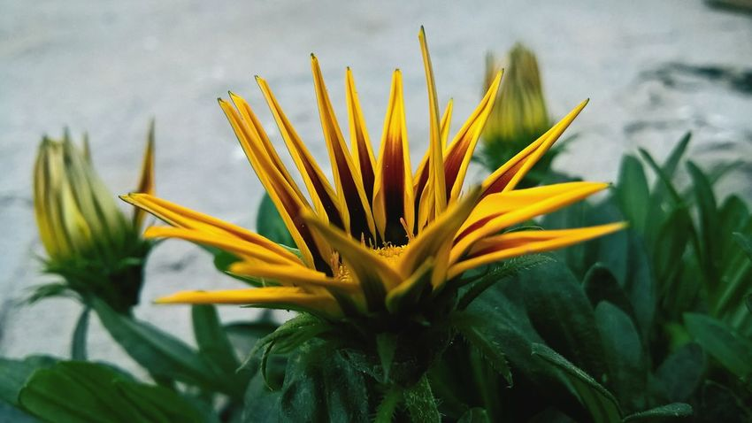 Growth Flower Nature Plant Close-up Fragility Beauty In Nature Freshness No People Outdoors Day Flower Head Needle - Plant Part FirstEyeEmPic Plants 🌱 Plants Collection Beauty In Nature Nature Plants And Flowers First Eyeem Photo Beauty EyeEm Gallery EyeEm Best Edits Plants Yellow Flower