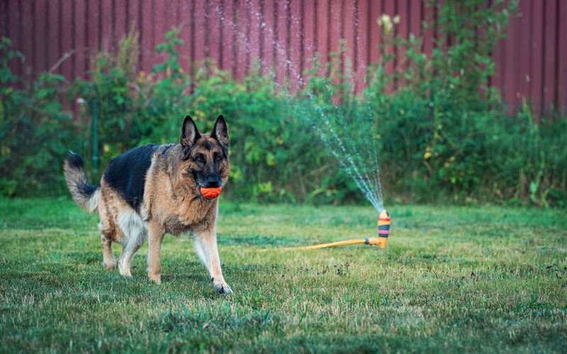 A german shepherd dog runs with a ball on the lawn against the background of a working sprinkler