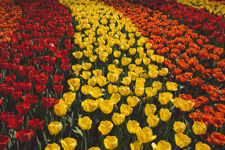 Netherlands Abundance Backgrounds Beauty In Nature Close-up Flower Flower Head Flower Market Flowerbed Flowering Plant Fragility Freshness Full Frame Growth High Angle View Inflorescence Multi Colored No People Outdoors Park Petal Plant Red Spring Springtime Tulip Vulnerability  Yellow