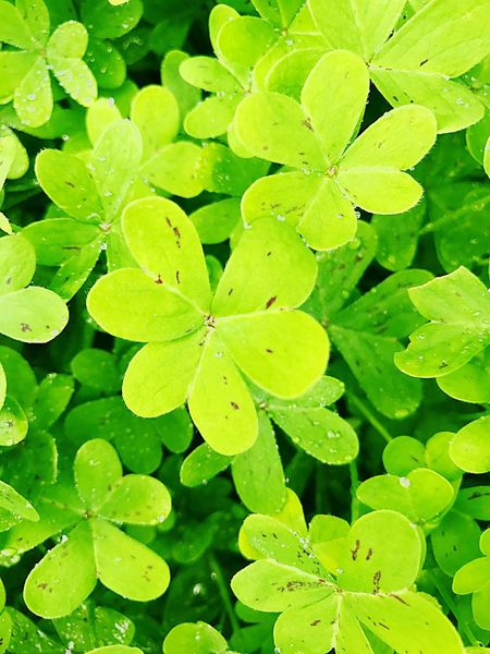 Leaf Green Color Nature Plant Beauty In Nature Clover Drop Growth Freshness No People Outdoors Water Close-up Day God3ssdesign Nature New Earth Perspectives On Nature