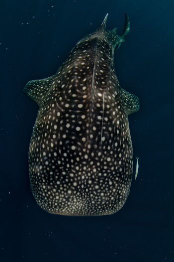 High angle view of whale shark in sea