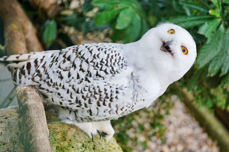 Snow Owl from