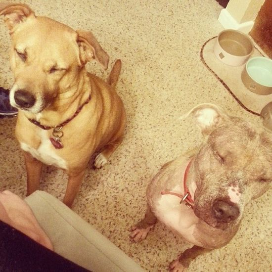 This is what I have to deal with while eating dinner. Lol. Dogs Brats Dogsofinstagram LoveThem  cute silly