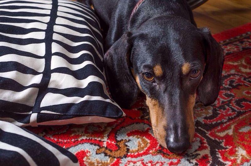 Close Up Of Dachshund Lying On Carpet