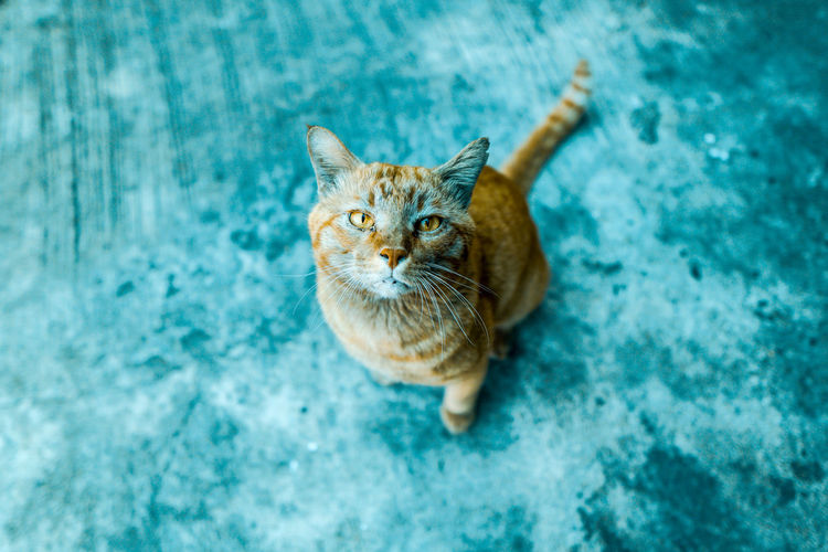 High angle view portrait of tabby cat against blue wall