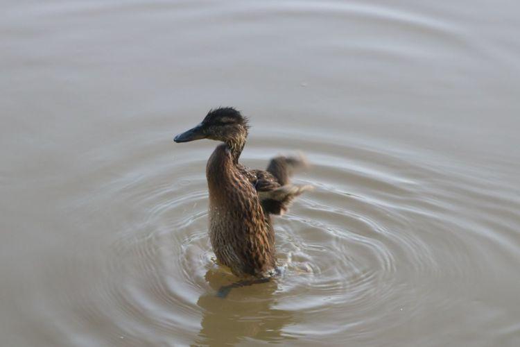 EyeEm Selects Bird Swimming Water Young Animal Animal Themes Close-up Duck Water Bird Swimming Animal