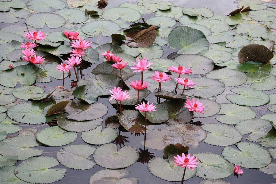 Lotus Flower Opened Up