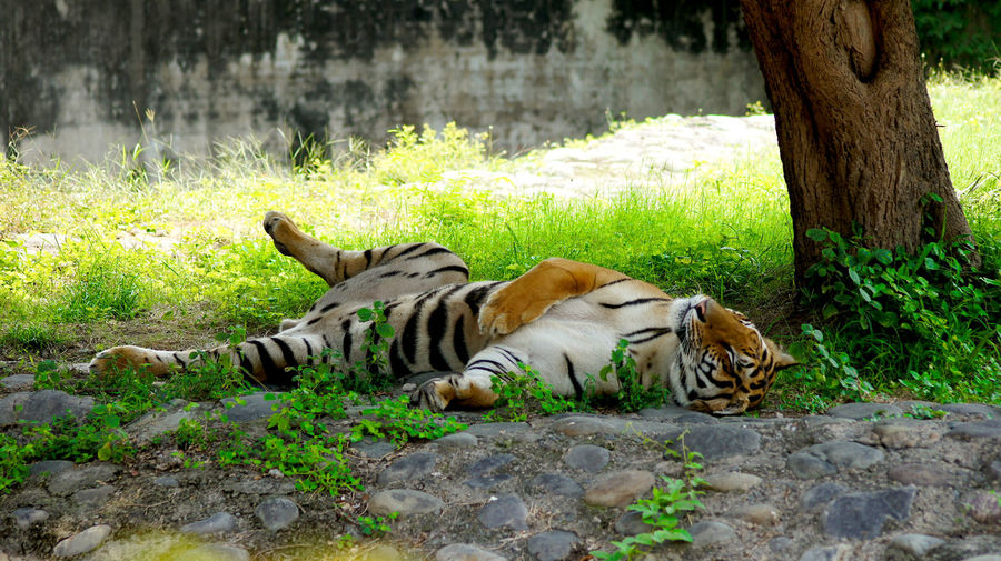 BeNGaL TiGeR Nature Photography Save The Tigers Sleeping Tiger Wildlife & Nature Wildlife Photography