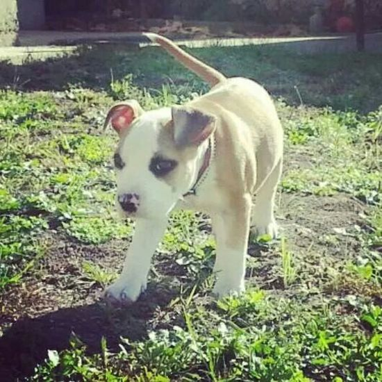 Amstaffstyle Amstaff Ilovemydog American Stafford Bestfriend Aslan Puppy