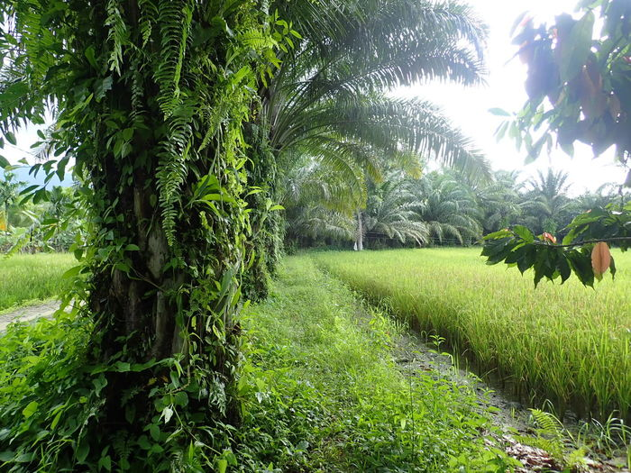 ricefield in