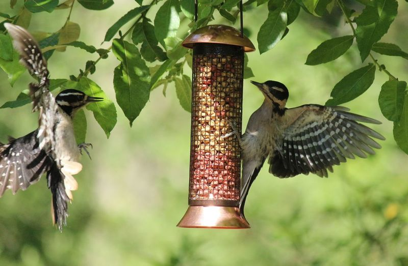 Animal Wildlife Birds In Flight Close-up Nature Woodpecker Woodpecker Feeding