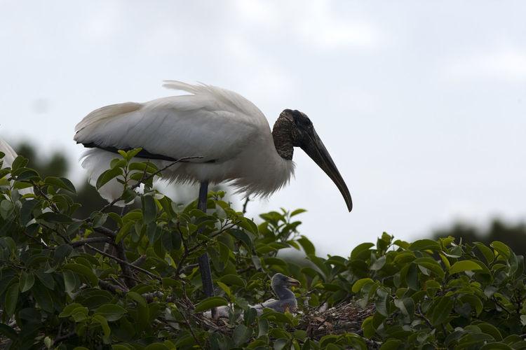 Animal Themes Animal Wildlife Animals In The Wild Bird Mycteria Americana Nature Nesting Birds One Animal Wood Stork