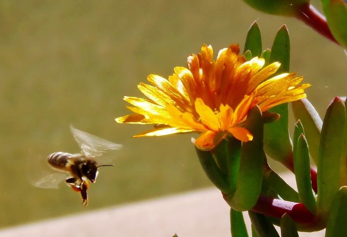 Bee at flower In Bloom Flower Plant Golden Flower Head ICE PLANT Bee 🐝 Insect Animal Themes Bee Animals In The Wild Nature One Animal Fragility Growth Buzzing Day Honey Bee No People Petal Outdoors Close-up Freshness Plant Beauty In Nature