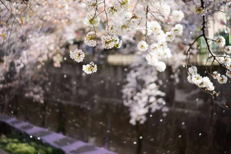 Cherry Blossom Blooming On Tree