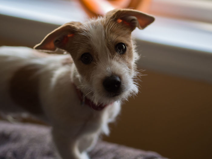 Portrait of cute puppy at home