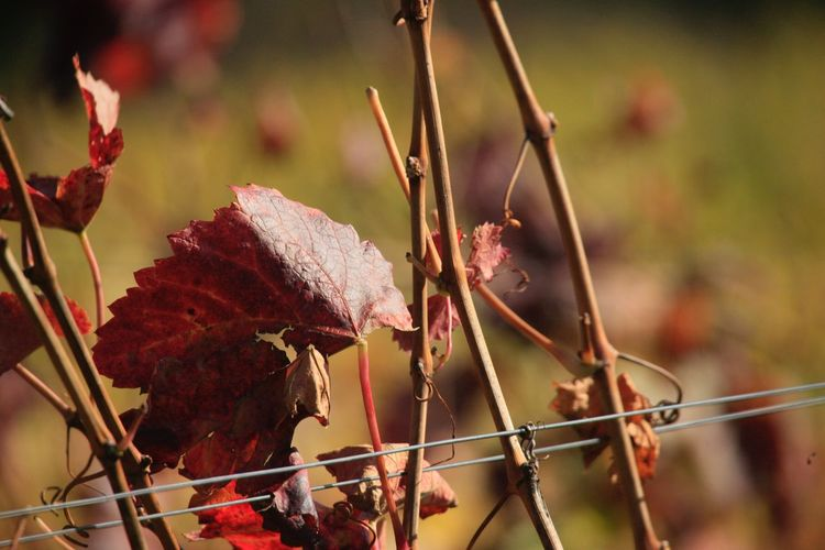 EyeEm Selects Focus On Foreground Plant Growth No People Nature Day Close-up Leaf Outdoors Dried Plant Beauty In Nature Travel Photography Wine Cultivated Land Vineyard The Week On EyeEm Heilbronn Heilbronn Germany