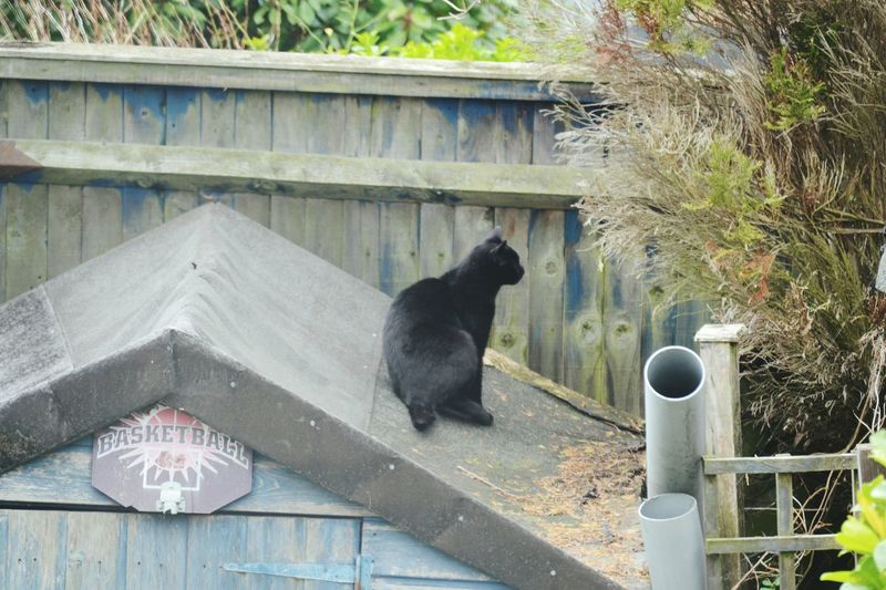 Black Cat Domestic Animals Mammal No People One Animal Pets Roof Built Structure Day Animal Themes Outdoors Shed Roof
