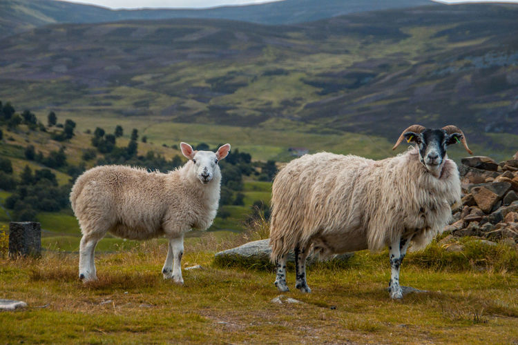 Portrait Of Sheep Standing On Field Against Mountains
