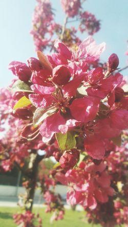 Spring Spring Flowers Bahardalı Cicekler Pink Flower Eskişehir Ilkbahar