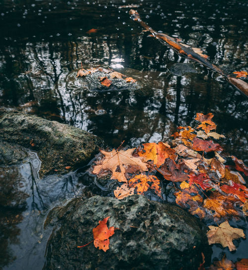 Animal Themes Animals In The Wild Autumn Beauty In Nature Carp Change Close-up Day Floating On Water High Angle View Koi Carp Lake Leaf Lily Pad Maple Nature No People Orange Color Outdoors Sea Life Swimming Tranquility Tree Water Waterfront