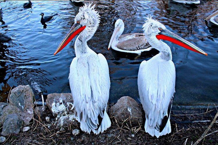 Bird Animals In The Wild Animal Wildlife Water No People Beak EyeEmNewHere EyeEm Best Shots Nature Scenics Lake Nature Outdoors Day Flamingo Swan
