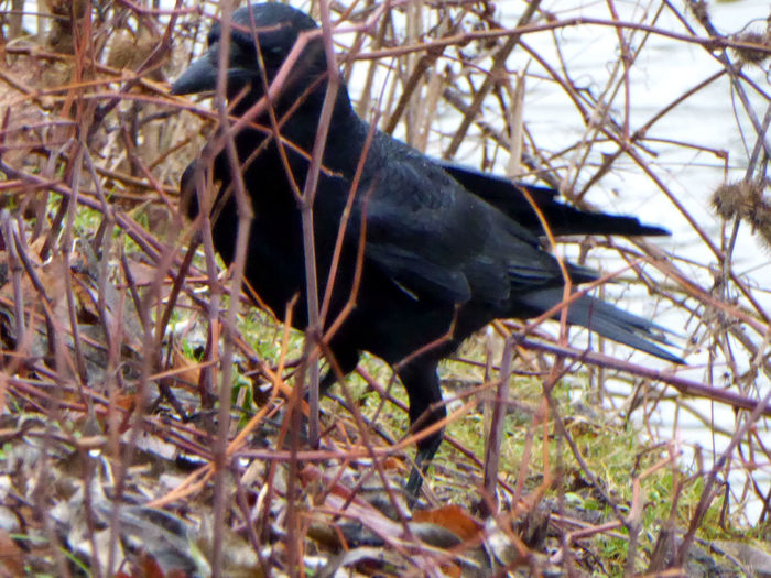 See You!😁 Shy Raven Crow At Mittellandkanal One Animal Animal Themes Animals In The Wild Low Angle View Close-up Lieblingsplätze😍 Nature Greyskys No People Tranquility Zoom ♡ Beauty In Winter😍 Am Mittellandkanal In Hannover For My Friends 😍😘🎁 Enjoying Life Beauty On A Rainy Day😍 Animal Wildlife