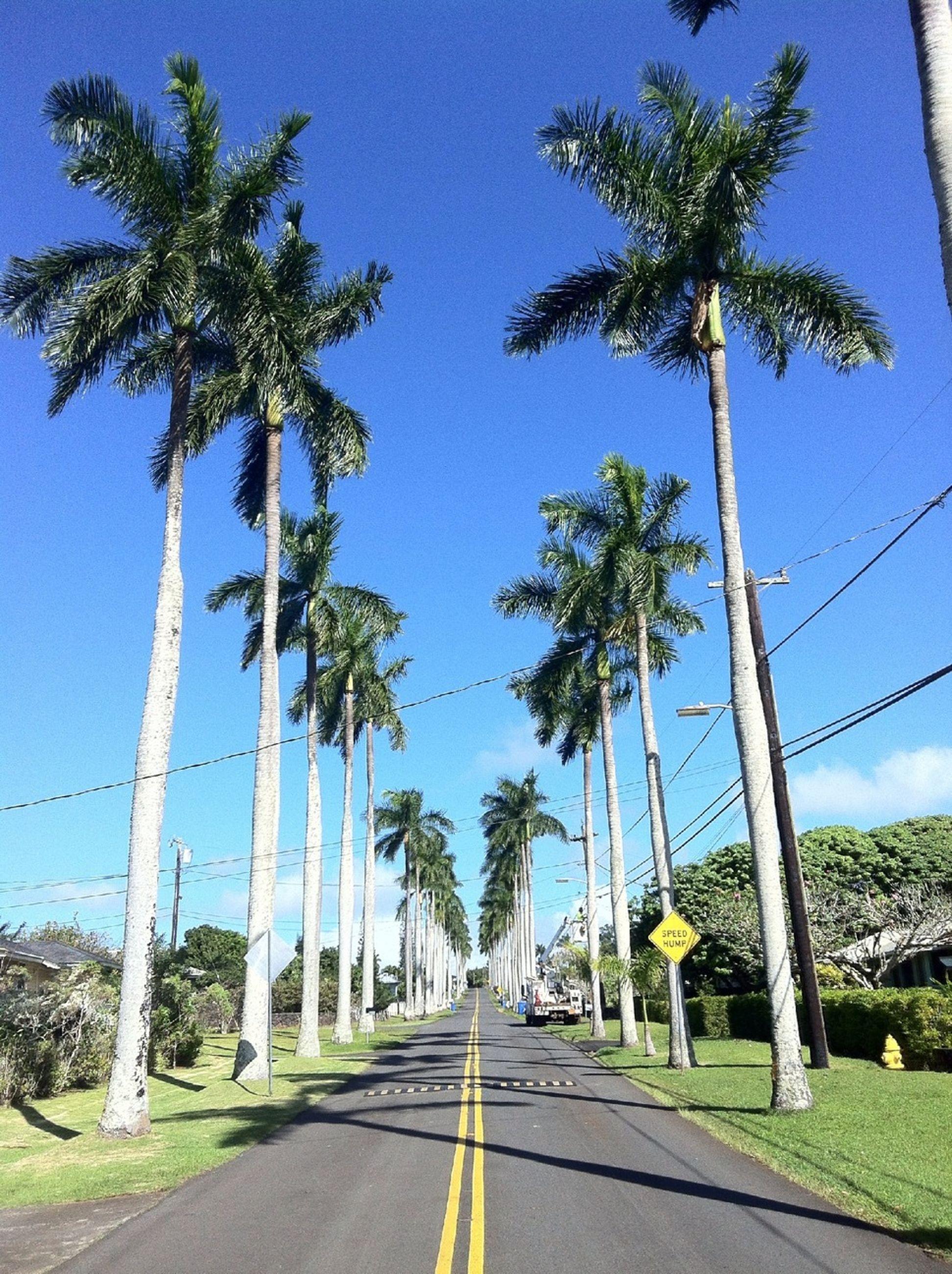 the way forward, tree, palm tree, road, diminishing perspective, transportation, clear sky, blue, vanishing point, treelined, long, empty road, road marking, sky, tree trunk, empty, street, growth, sunlight, day