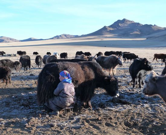 Day Domestic Animals Livestock Mammal Milking Milking Cows Mongol Mongolia Mongolia Khuvsgul Mongolian Mongolian Nature Mongoliangirl Nature No People NOMAD Nomadiclife Outdoors Sky Yak