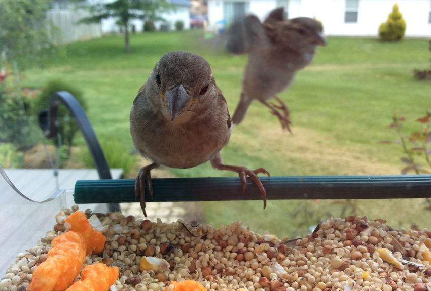 Animal Bird Feeder Birdfeeder Cheetos Close-up Day Focus On Foreground House Sparrow Nature No People Outdoors Selective Focus Sparrow