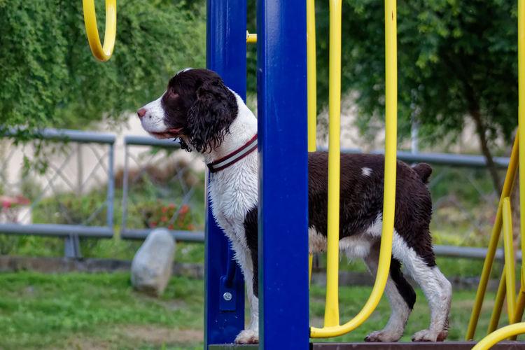 Dash Close-up Dog Dog Love Dog Playing Dog Playtime English Springer Spaniel Pets Play Ground Springer Spaniel Springer Spaniel Ingles Pet Portraits