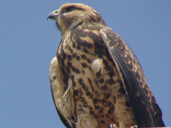 EyeEmNewHere Bird Bird Of Prey Animal Wildlife One Animal Feather  Animals In The Wild Blue Hawk - Bird Falcon - Bird Close-up EyeEm Ready
