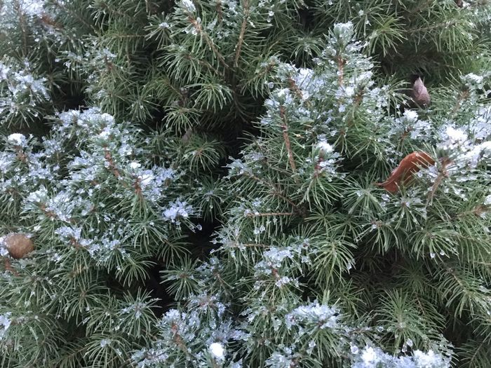 Plant Growth Cold Temperature Tree Winter Snow Beauty In Nature Nature Green Color Day Pine Tree Coniferous Tree Frozen No People Outdoors Freshness Branch Close-up Tranquility Needle - Plant Part